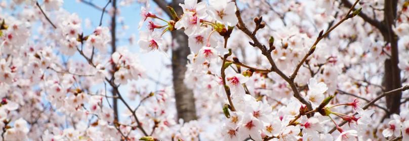 Kirschblüte-Aktuell