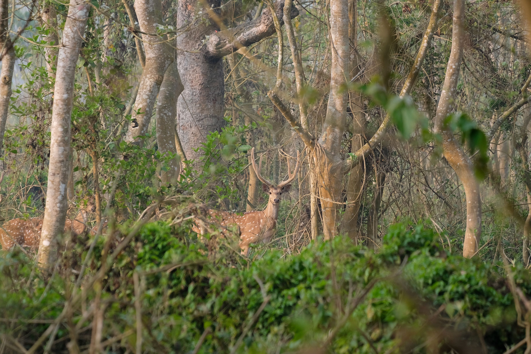 Spotted deer im Chitwan Nationalpark, Nepal.