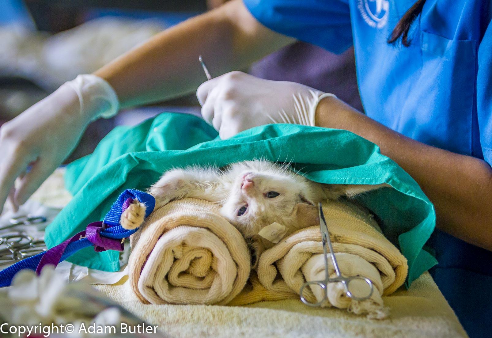 Kastration thailand freiwillige in Orchiektomie beim