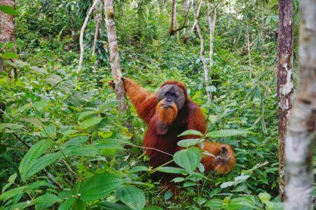 Orang Utan, Gunung Leuser Nationalpark, Sumatra